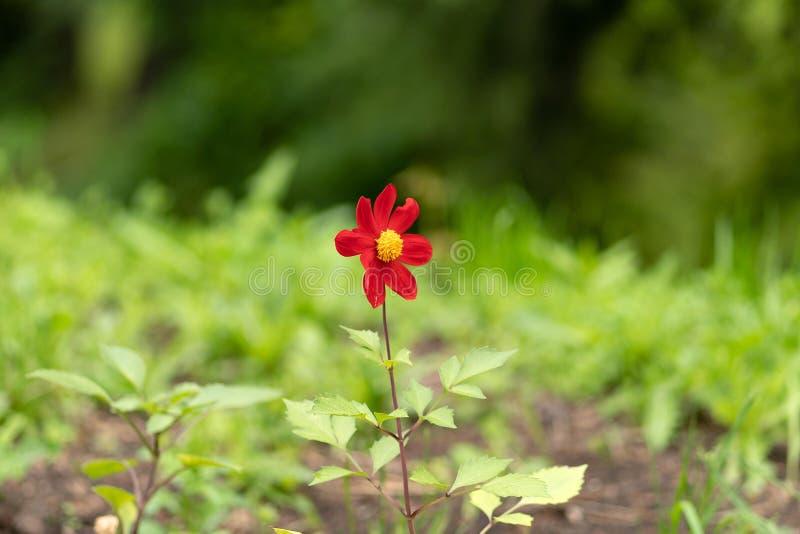 反对森林背景的年轻红色花 免版税库存照片