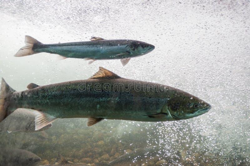 反对河潮流的三文鱼游泳 挪威,斯塔万格地区,罗加兰,Ryfylke风景路线 免版税库存图片