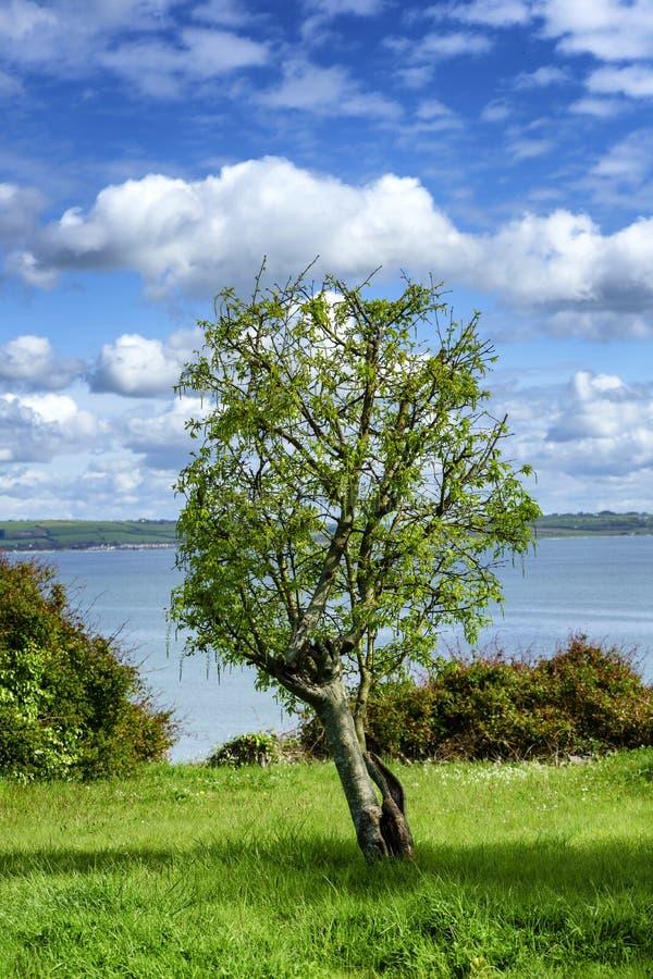 反对海的一棵孤零零树 库存图片