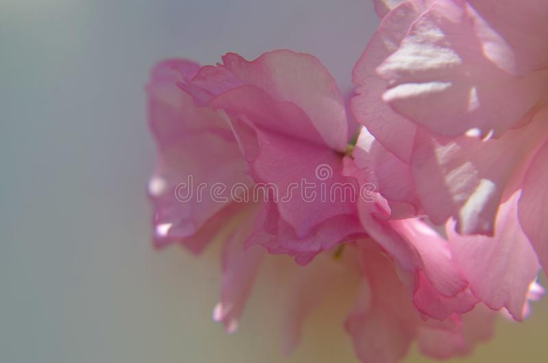 反对淡色灰色背景的桃红色花 免版税库存图片