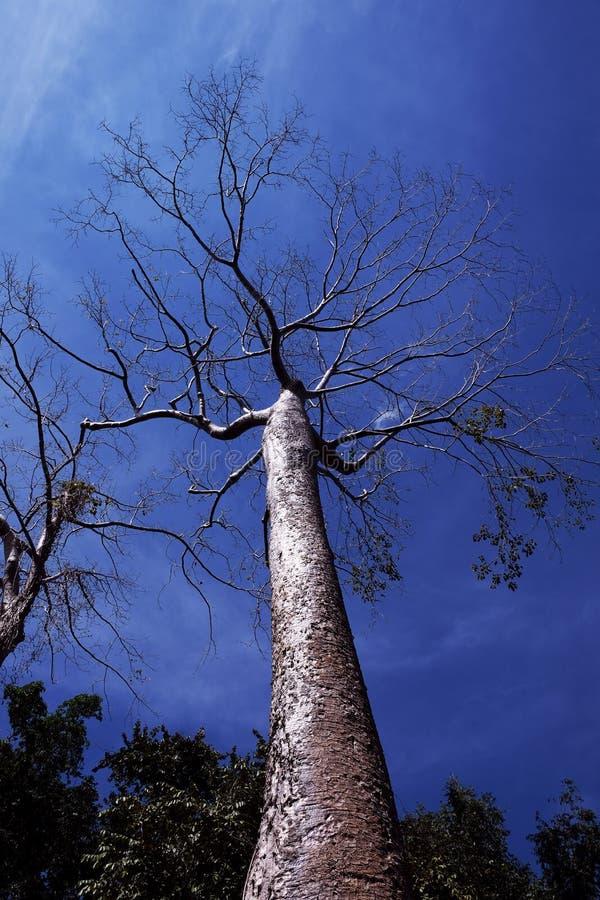 反对清楚的天空的一棵巨大的热带白色树 Tetrameles树,在热带气候增长 免版税库存图片