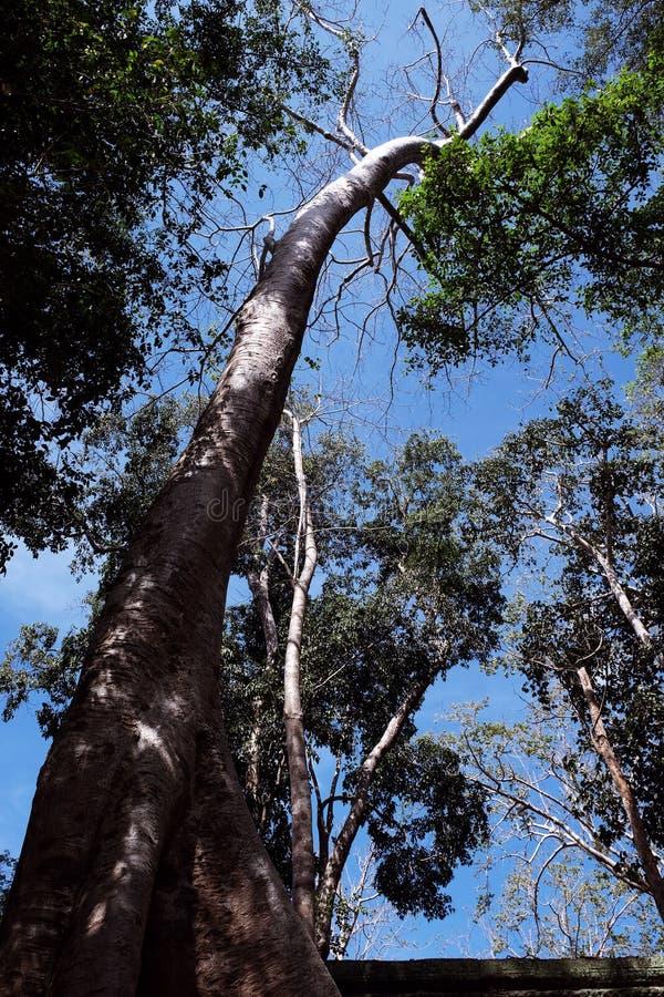 反对清楚的天空的一棵巨大的热带白色树 Tetrameles树,在热带气候增长 库存照片
