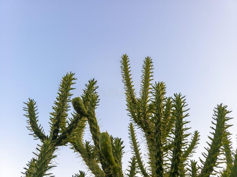 反对清楚的天空蔚蓝的仙人掌 免版税库存图片