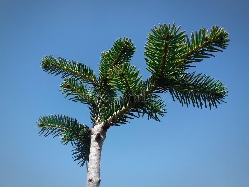 反对清楚的天空蔚蓝的年轻松树 库存照片