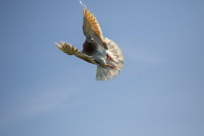 反对清楚的天空蔚蓝的粉性的羽毛赛鸽飞行 免版税库存图片