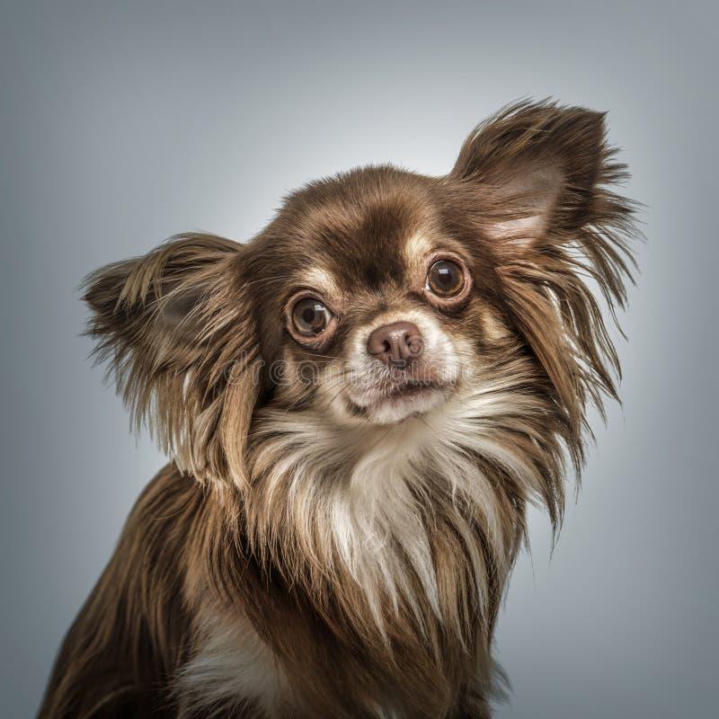反对灰色背景的大陆玩具西班牙猎狗画象 免版税库存图片