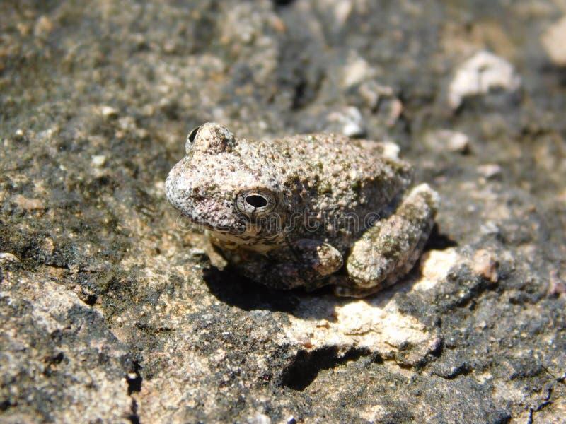 反对灰色背景的灰色青蛙 免版税库存照片