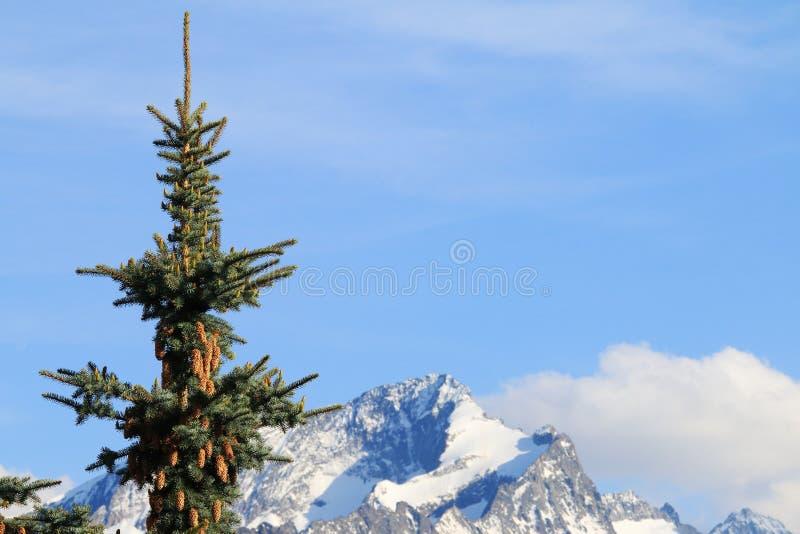 反对白色山的绿色冷杉 库存照片
