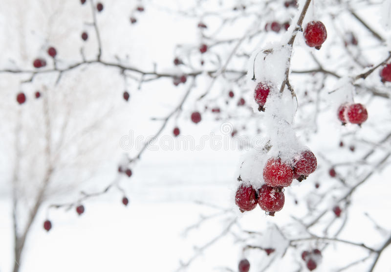 反对白色斯诺伊背景的红色果树 免版税库存图片