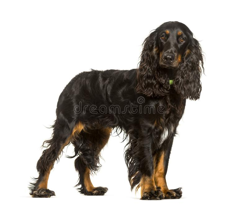 反对白色背景的英国猎犬狗身分 库存图片