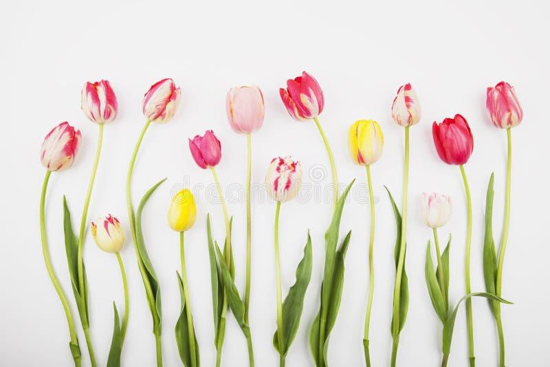 反对白色backround的五颜六色的郁金香 库存照片