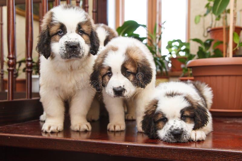 三只小狗2个月 库存照片