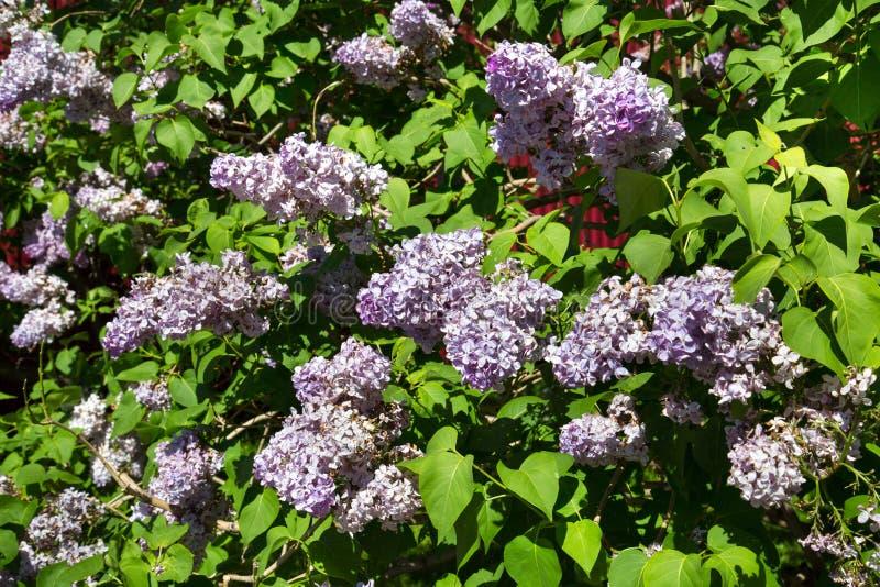 反对绿色叶子的淡紫色花在春天在一清楚的好日子 库存照片