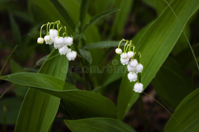 反对绿色叶子的精美白色铃兰花 图库摄影