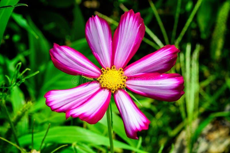 反对绿色叶子背景的一朵美丽的桃红色白的花图片