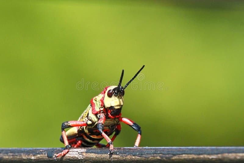 反对绿色背景的明亮的色的蚂蚱 免版税库存照片