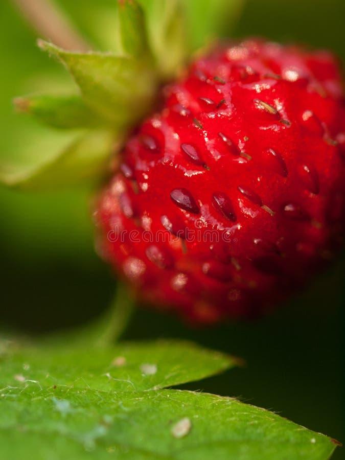 反对绿色背景的狂放的成熟草莓 极端宏观射击 图库摄影
