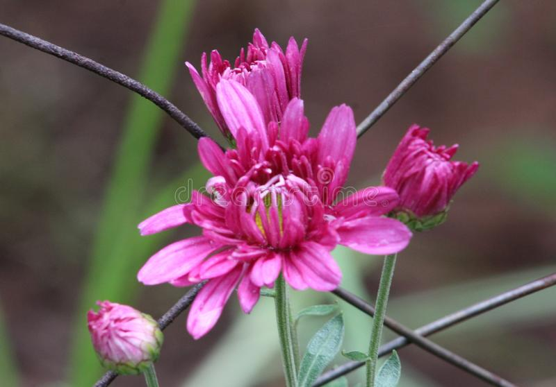 反对老生锈的篱芭的快乐的明亮的桃红色雏菊 免版税图库摄影