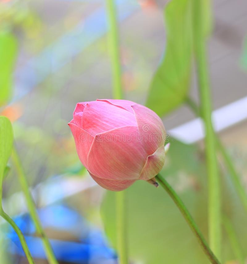 反对自然背景的美丽的lilly水花 免版税图库摄影