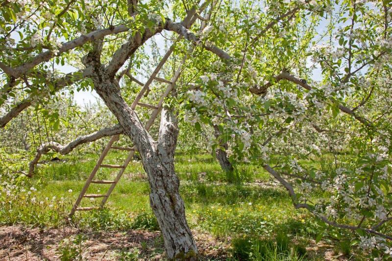 反对苹果树的一架梯子 免版税库存照片
