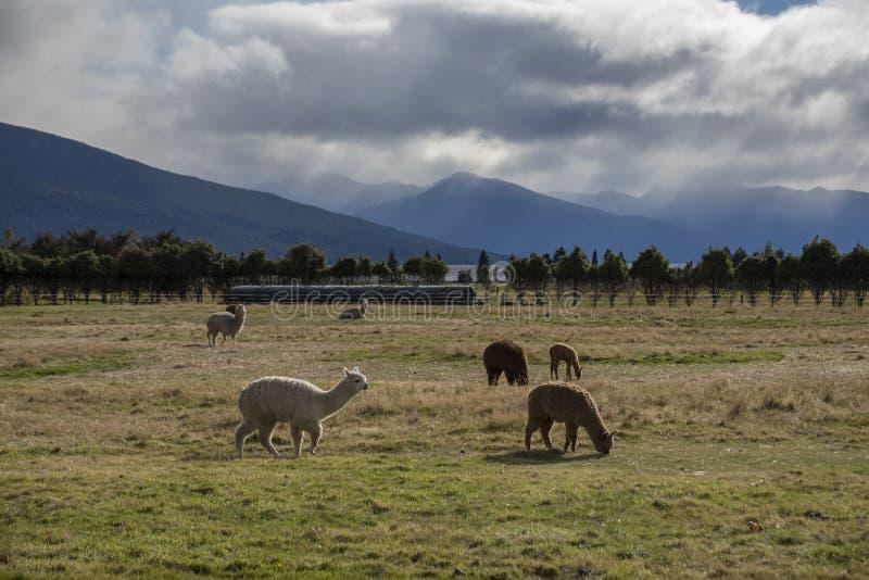反对草土地的在背景的羊魄和山 库存照片