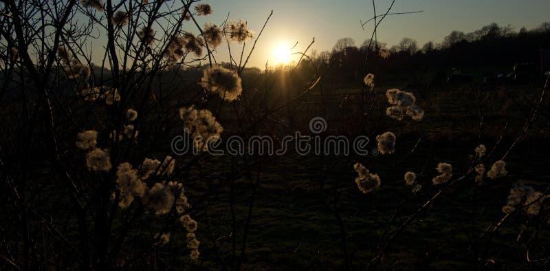 反对落日的蓬松种子 免版税库存图片