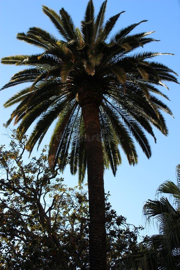 反对蓝天的一palmtree 库存照片