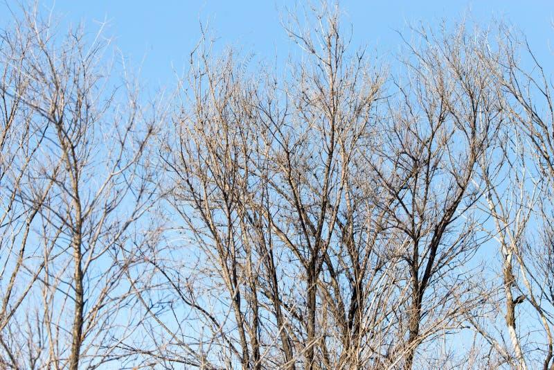 反对蓝天的不生叶的树枝 库存图片