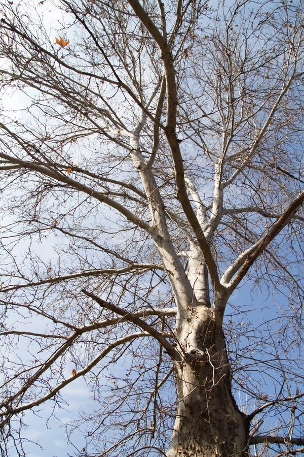 反对蓝天的不生叶的树枝 免版税库存图片