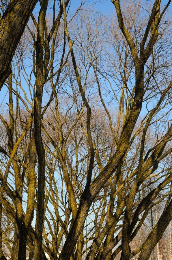 反对蓝天的不生叶的树枝 免版税库存照片