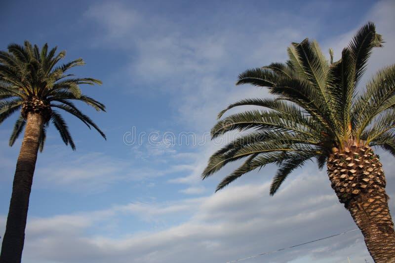 反对蓝天的两棵高棕榈树与云彩 热带本质背景 棕榈树特写镜头 免版税库存照片