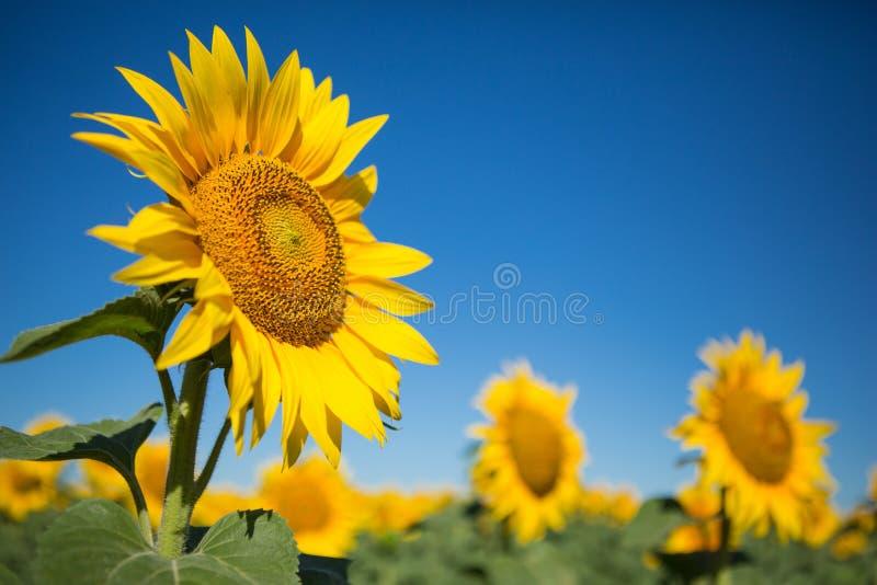 反对蓝天的向日葵,特写镜头 库存照片