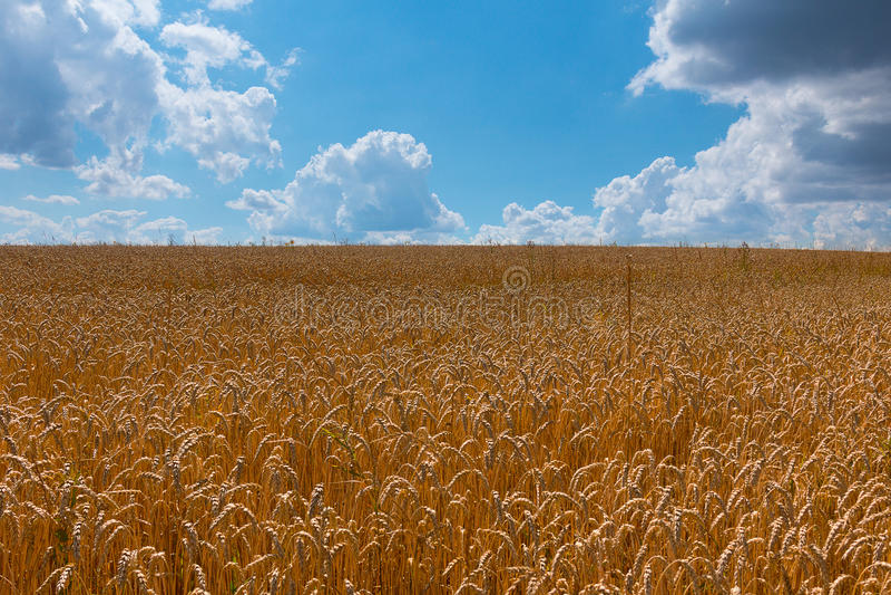 反对蓝天的成熟麦子耳朵与云彩 库存图片