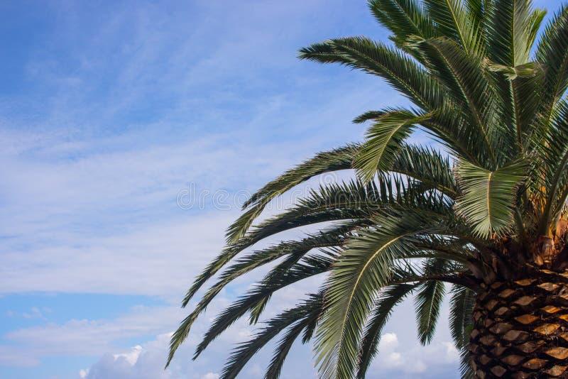 反对蓝天的棕榈叶与云彩 热带本质背景 棕榈树特写镜头 异乎寻常的横向 免版税库存照片