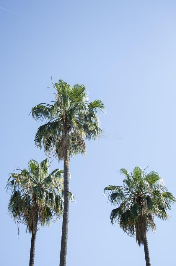 反对蓝天的棕榈树与稀薄的云彩在巴塞罗那,西班牙 美好的蓝色晴天 树在热的棕榈树 免版税库存照片