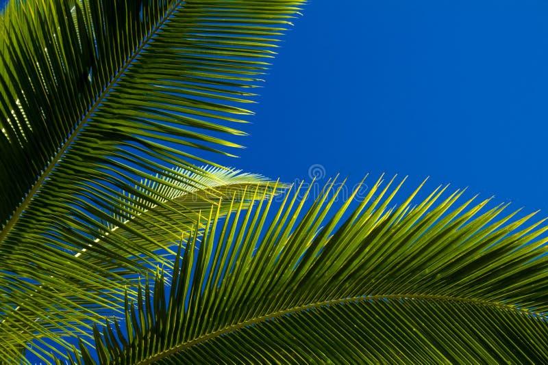反对蓝天的棕榈树叶子.图片