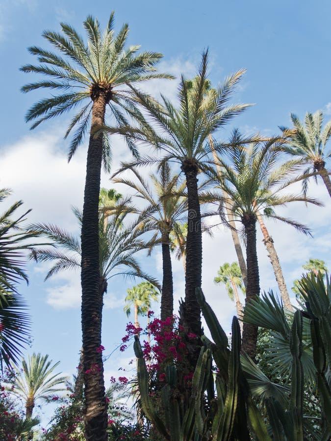 反对蓝天的棕榈树在Majorelle庭院在马拉喀什,摩洛哥 图库摄影