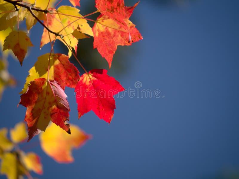 反对蓝天的槭树叶子 免版税库存图片