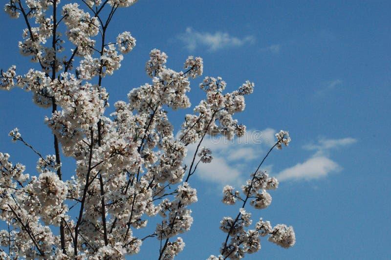 反对蓝天的樱花特写镜头在华盛顿, D C 免版税库存照片