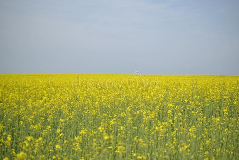 反对蓝天的油菜籽领域,黄色花沼地 免版税库存图片