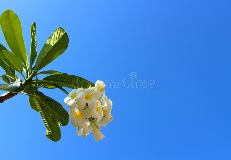 反对蓝天的白色羽毛花 库存照片
