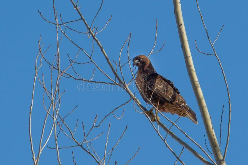 反对蓝天的被栖息的红色被盯梢的鹰 免版税图库摄影