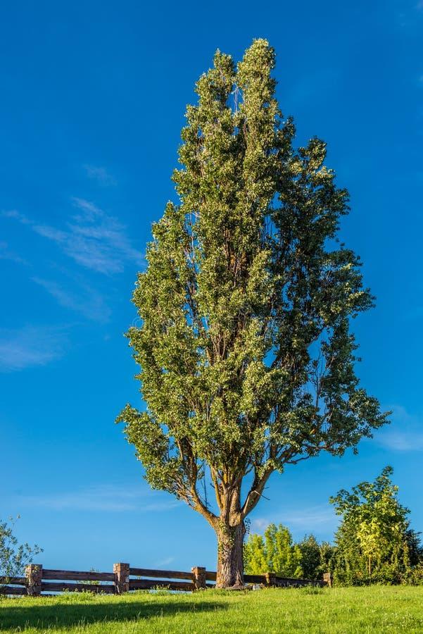 反对蓝天的高大的树木 库存图片