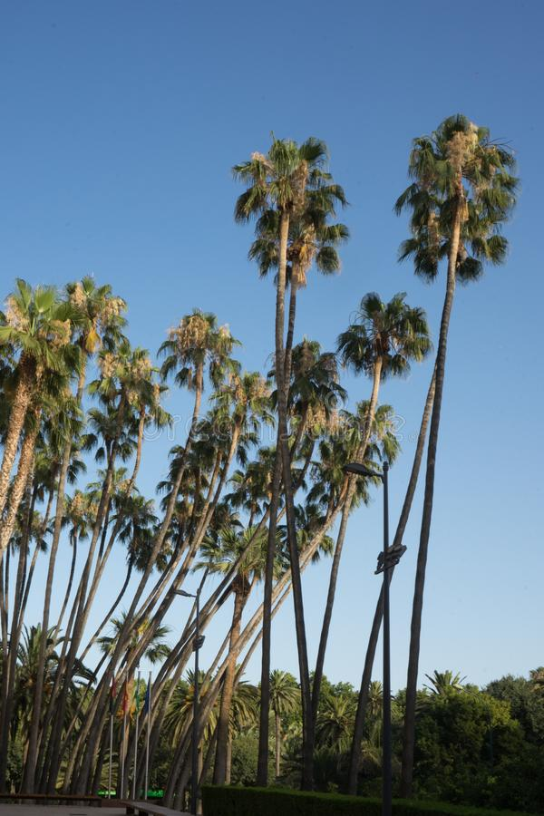 反对蓝天的高棕榈树在马拉加市,西班牙,欧洲 库存图片
