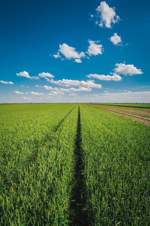 反对蓝天的麦田与白色云彩 图库摄影