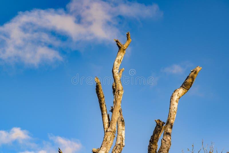 反对蓝天的Leaveless树 免版税库存照片