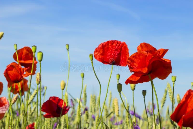 反对蓝天,有野花的美丽的草甸,与领域的自然风景的红色鸦片,狂放的春天开花 图库摄影