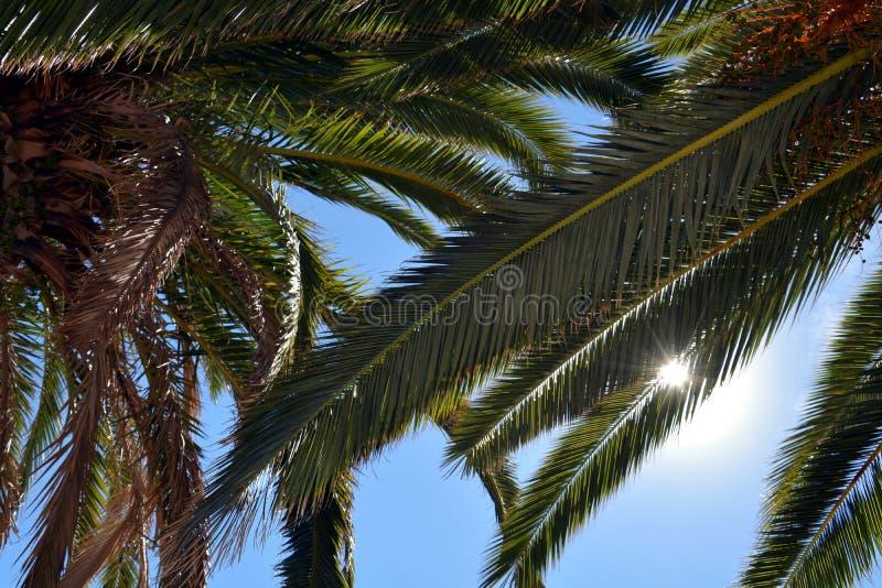 反对蓝天,热带背景的棕榈叶 免版税库存图片