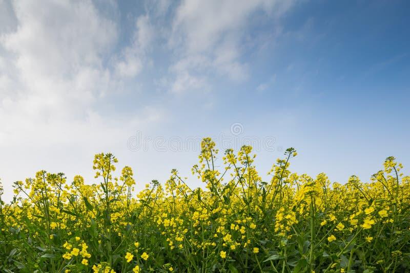 反对蓝色和多云天空的油菜籽庄稼在一个领域在诺曼底 库存图片