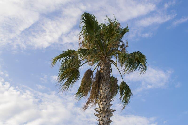 反对蓝色多云天空的美丽的棕榈树 库存照片